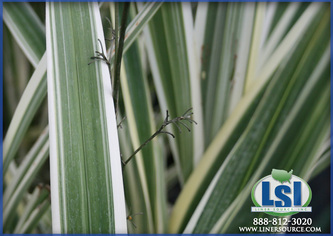 Dianella Flax Lily Liner Source